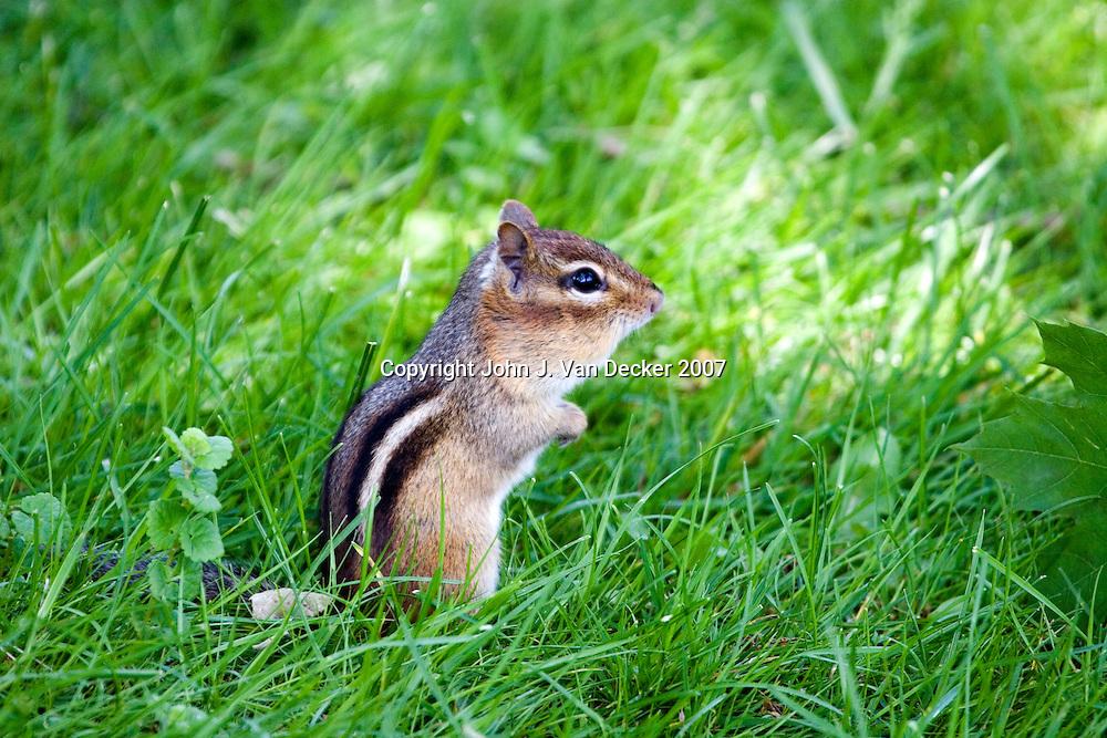 Chipmunk standing in grass