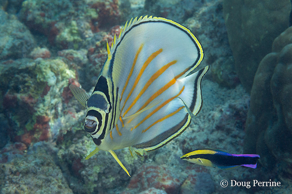 ornate butterflyfish, Chaetodon ornatissimus, being cleaned by endemic Hawaiian cleaner wrasse, Labroides phthirophagus, Kahaluu Beach Park, Kona Coast, Hawaii Island ( the Big Island ) Hawaiian Islands ( Central Pacific Ocean )