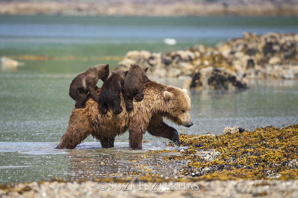 Brown Bear<br /> Ursus arctos <br /> Mother emerging from water with 3-4 month old triplet cubs on back<br /> Katmai National Park, AK