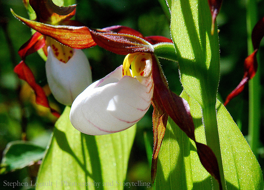 Lady Slipper Orchid, Badger Two-Medicine, Montana