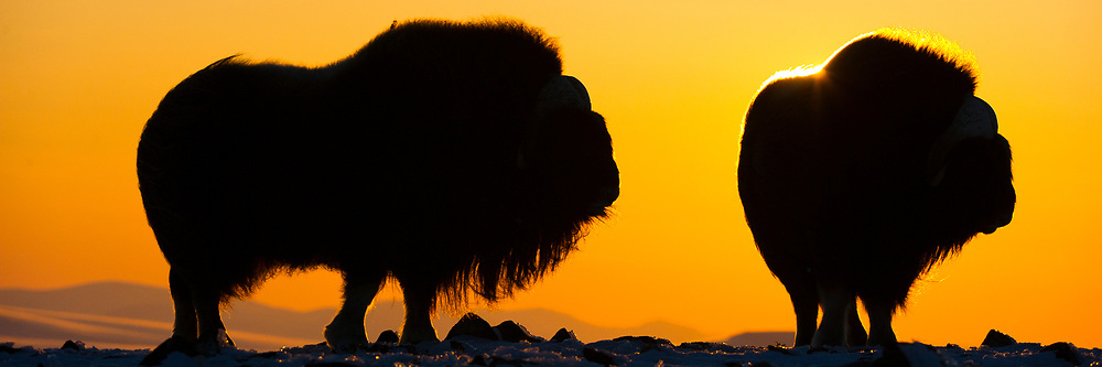 Muskox Bulls silhuetted agains the orange sky of the rising sun. Northwest Alaska