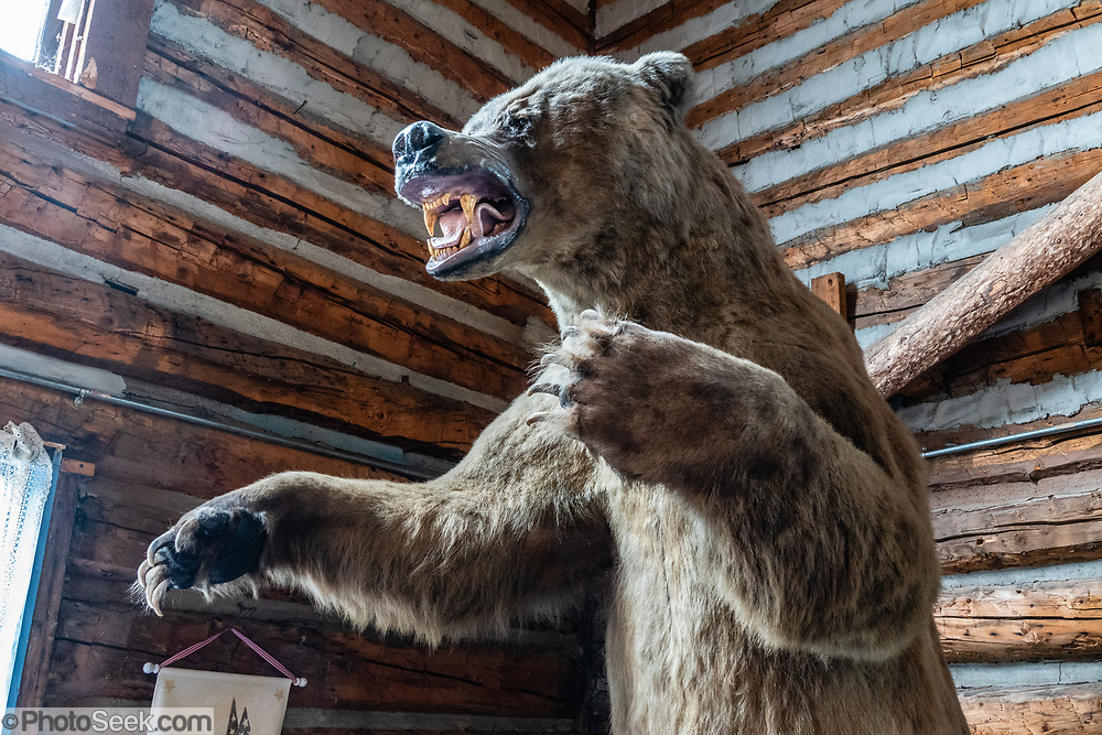A stuffed grizzly bear (Ursus arctos, or North American brown bear) menaces customers in a gift shop in Pioneer Park, Fairbanks, Alaska, USA. Pioneer Park, run by the Fairbanks North Star Borough Department of Parks and Recreation, commemorates early Alaskan history with museums and historic displays. Pioneer Park was opened in 1967 as Alaska 67 Centennial Exposition to celebrate the centennial of the Alaska Purchase. After being given first to the state and then to the city, Mayor Red Boucher renamed the site Alaskaland, which was changed to its present name in 2001.
