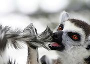 Close up portrait of a Ring-tailed Lemur (Lemur catta).