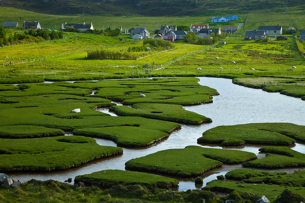Sheep (Ovis aries), Prado litoral y pueblo Northton. Machair in Northton village. South Harris Island. Outer Hebrides. Scotland, UK