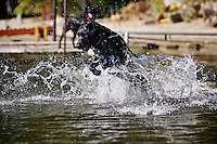 A labrador retriever jumps through the water of Twin Lakes, Idaho as he plays fetch with his owner during an outing to the beach Saturday, Oct. 15, 2011.