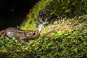 A Pacific Giant Salamander (Dicamptodon tenebrosus) left photographed with a Cascade torrent salamander (Rhyacotriton cascadae) at night near Mt. Defiance in the Columbia River Gorge, Oregon.