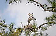 "Great blue herons nest in ""The Lost World,"" a network of hummocks and marsh flats in the May River near Bluffton, SC."