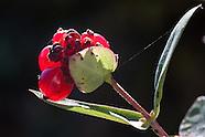Kamperfoelie | Honeysuckle