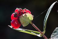 Kamperfoelie met rode bessen - Honeysuckle with red berries.