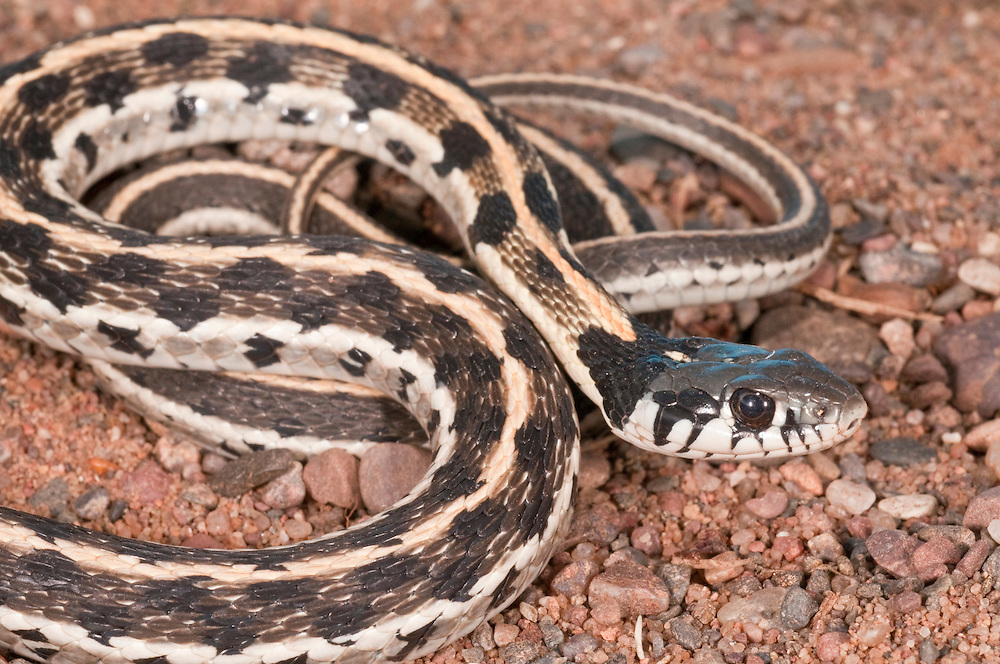 Black-necked garter snake, Thamnophis cyrtopsis, native to western United States and Mexico