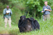 Field assistant Monday Gideon and PhD student Simon Townsend (University of St. Andrews) observing  Chimpanzees (Pan troglodytes schweinfurthii) on rainforest road. Budongo Forest Reserve, Masindi, Uganda, Africa.