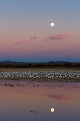 WETLAND FLOODED FIELD: SNOW GEESE