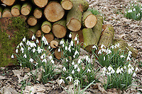 Bank Hall woodland garden with large drifts of snowdrops and log pile