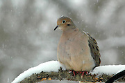 The dove was alert and wanted to fly to the feeder but wasn't sure if I was a problem.  The snow settled onto its head and back as we both stared at each other.