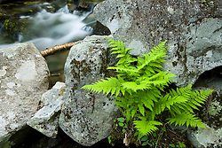 Ferns and a stream at the Moose Mountains Reservation in Middleton, New Hampshire.  Socitey for the Protection of New Hampshire Forests preserve. Spring.