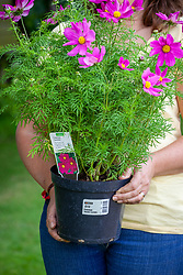 Holding a shop bought cosmos plant in a pot grown on by a garden centre