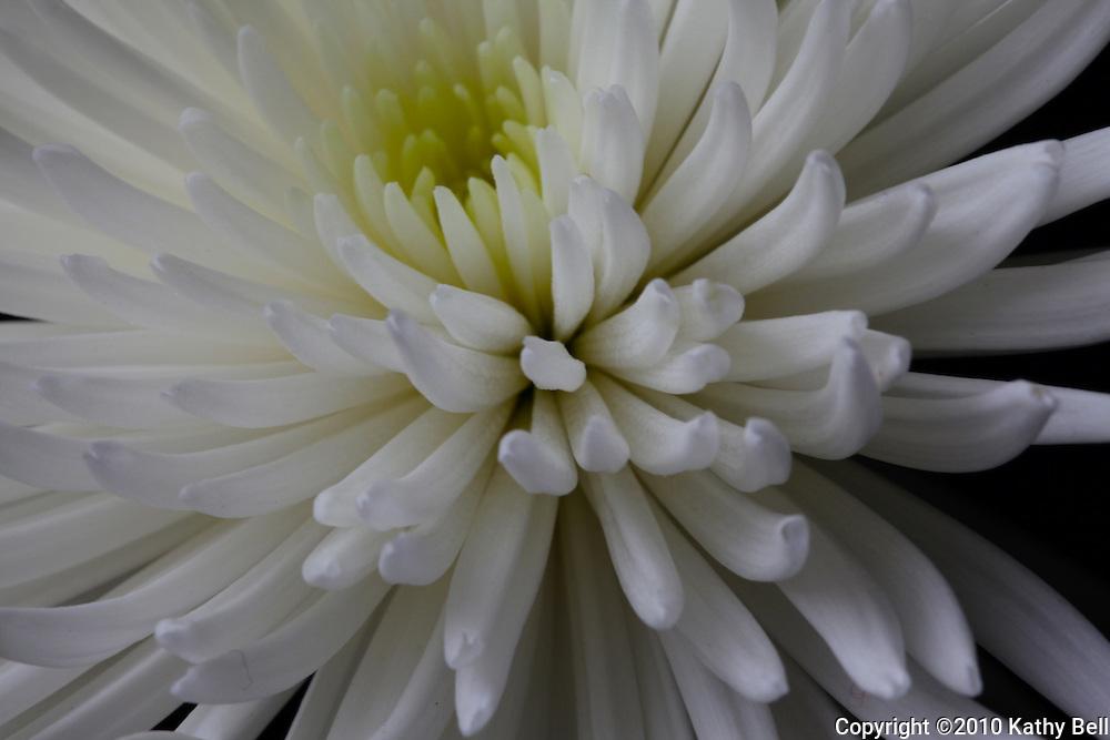 Close-up image of a chrysanthemum