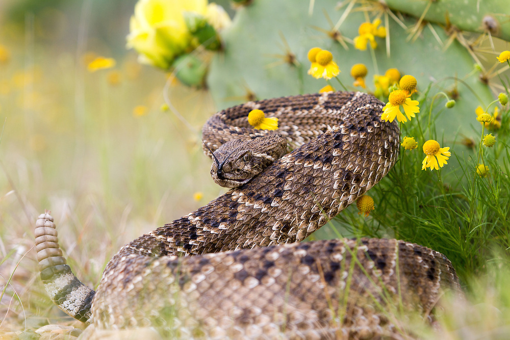 Western Diamond-backed Rattlesnake, Crotalis atrox<br />