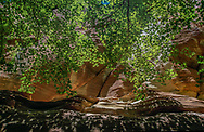 Green maples reach up sandstone cliff face in narrow canyon, Orderville Canyon, Zion National Park, © 1999 David A. Ponton