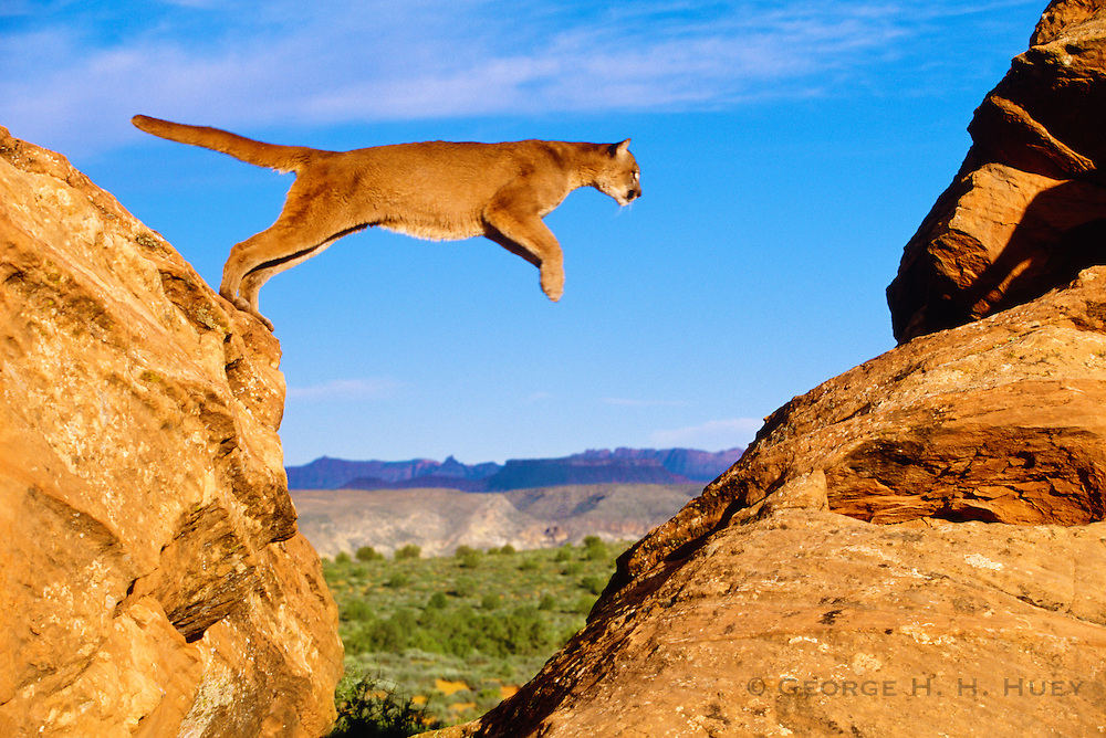 350103-1104 ~ Copyright: George H. H. Huey ~ Mountain lion [Puma concolor or Felis concolor], also known as cougar or puma. Jumping in rocks in high desert. Colorado Plateau. Near Zion National Park, Utah.