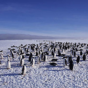 Chinstrap Penguin, (Pygoscelis antarctica) Colony on Zavadoski Is, land. South Sandwich Islands.