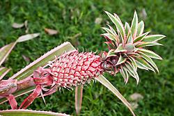La Fortuna, Alajuela District:  Pink pineapple.