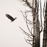 Bald eagle soaring away from tree - Skagit Valley, WA