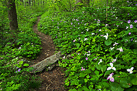 Trillium and other wildflowers line the Appalachian National Scenic Trail through G. Richard Thompson Wildlife Management Area in the Blue Ridge Mountains of Virginia.