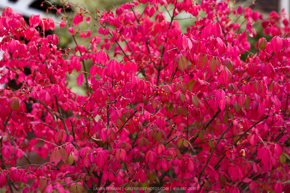 Dwarf Burning Bush (Euonymus alatus 'Compactus')
