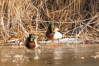 A pair of Drake Mallards rest on the icy side of a northern Utah River in the morning sun.