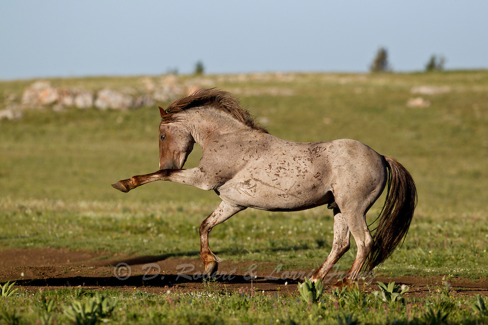 Wild mustang stallion warning off rival