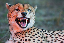 A male cheetah (Acinonyx jubatus) starting to yawn showing his sharp canine teeth, Masai Mara, Kenya,Africa