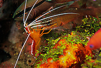 A cleaner shrimp services a cardinal fish at its cleaning station on the reef, where other fish are lined up for cleaning.  Their red color is not visible underwater so their white limbs contrast highly against their black body to advertise where the cleaning stations are.