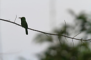 Blue-bearded Bee-eater (Nyctyornis athertoni) perched on branch. Kaeng Krachan National Park. Thailand.