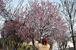 March 29, 2019 - Ankara, Turkey - A woman takes pictures of flowering cherry blossom trees. (Credit Image: © Altan Gocher/ZUMA Wire)