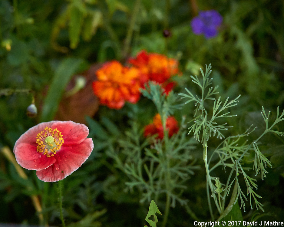 Pale red poppy flower after the rain. Backyard summer nature in New Jersey. Image taken with a Leica T camera and 55-135 mm lens (ISO 1600, 135 mm, f/5.6, 1/40 sec).