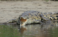 American Crocodile (Crocodylus acutus) gaping to cool body temperature.  River Tempisque, Guanacaste, Costa Rica. <br />