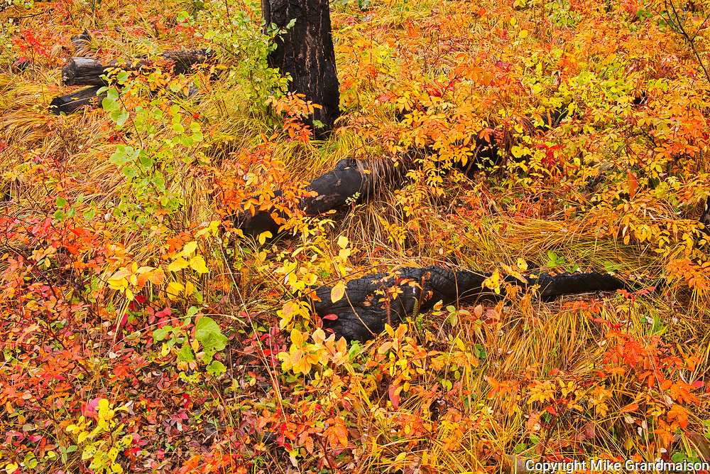 Fall colors in old burn at Sawback Range in the Bow Valley.<br />