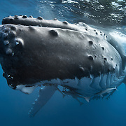 Front view of an adult female humpback whale that was the mother of a calf. This whale was asleep and resting for an extended period in the inner waterways of the Vava'u island group in the Kingdom of Tonga.