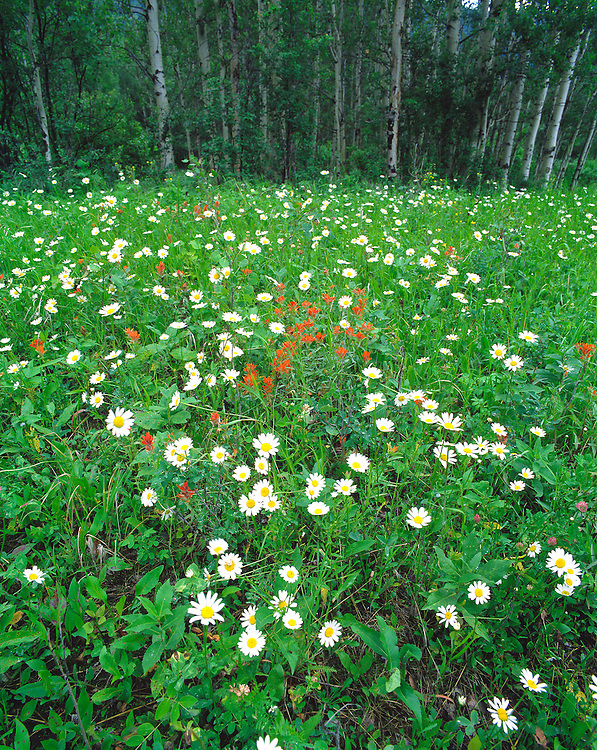 Daisies and indian paintbrush carpet the floor near an aspen forest in Glacier National Park, Montana.