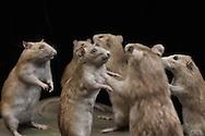 France. Paris. 1st district. Sanitation. Aurouze family rat killlers in Paris. five generations since 1875  / <br /> la famille Aurouze deratiseur depuis 1875, depuis cinq generations a Paris