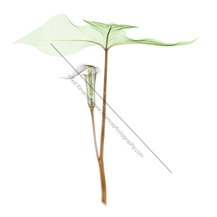 Jack-in-the-pulpit X-ray (Arisaema triphyllum) is a common perennial found in swamps and rich, moist woods of eastern North America. The American Indians used this plant medicinally for a large variety of ailments.