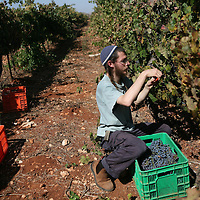 SETTLER'S BOUTIQUE WINE 2009...A Jewish settler picks Merlot grapes from the vineyard during the harvest of Tanya boutique winery in the West Bank Jewish settlement of Ofra, October 2009.  *** Local Caption *** ..