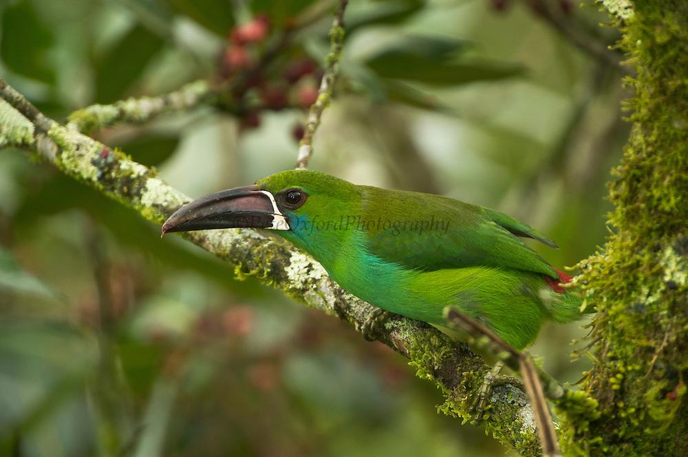 Crimson-rumped Toucanet (Aulacorhynchus haematopygus)<br /> Mindo<br /> Cloud Forest<br /> West slope of Andes<br /> ECUADOR.  South America<br /> HABITAT & RANGE: Humid Andean Forests of Ecuador, Colombia & Venezuela