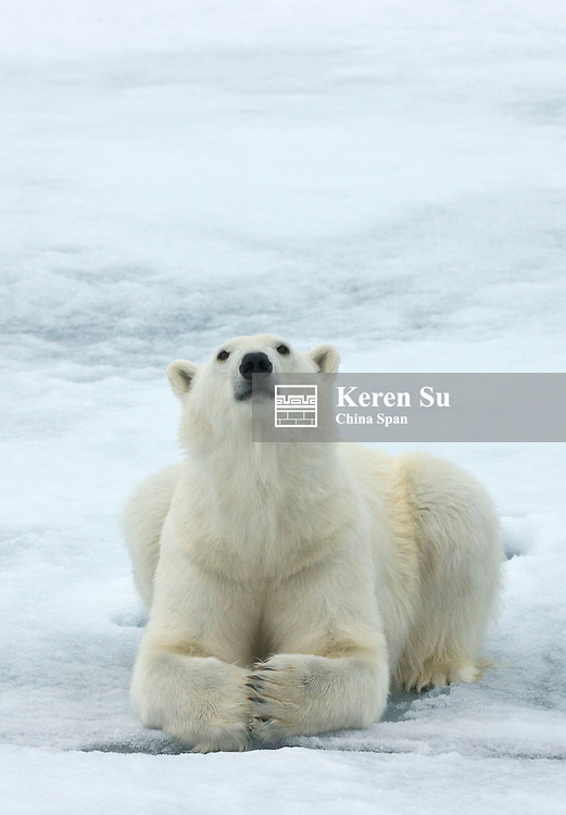 Polar bear on the floating ice in the Arctic Ocean, Olgastretet, Spitsbergen, Norway