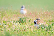 Little Bustard (Tetrax tetrax) males on habitat. Lleida province. Catalonia. Spain.