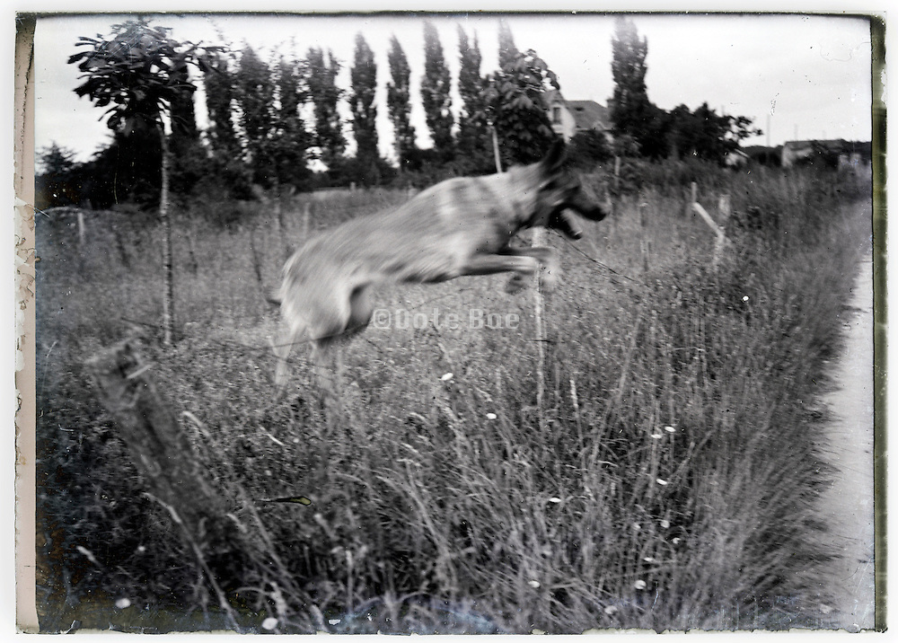German shepherd dog jumping over a wire of a fenced of field 1900s glass plate