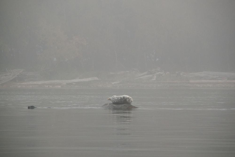 Harbor seals (Phoca vitulina) in Trincomali Channel, Gulf Islands, British Columbia, Canada