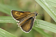 Lulworth Skipper Thymelicus acteon Wingspan 28mm. Well-marked butterfly; like other skippers it has an active, buzzing flight. Adult has olive-brown upperwings. Forewing has crescent of pale spots like a paw-print; markings are brighter on females than on males. Flies June–July. Larva is nocturnal and feeds on grasses. Very local in coastal grassland from Purbeck in Dorset to east Devon.