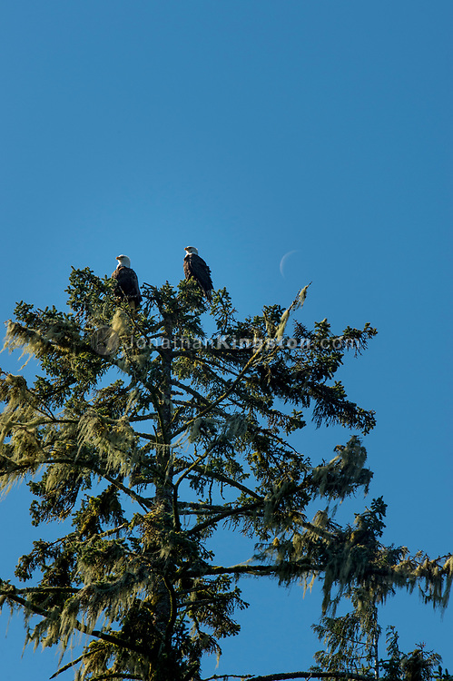 Two bald eagles (Haliaeetus leucocephalus) perched on the top of a tree with a  waning crescent moon in the background in Klewnuggit Inlet Marine Provincial Park, British Columbia, Canada.
